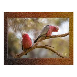 Australier Galahs Postkarte