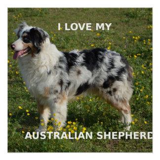 australischer Schäfer blauer merle Liebe w pic Poster
