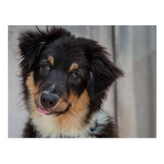 Australischer Schäfer-Hund Postkarte