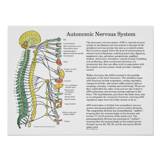 Autonomes Nervensystem Nationalstandard-Plakat Poster   Zazzle