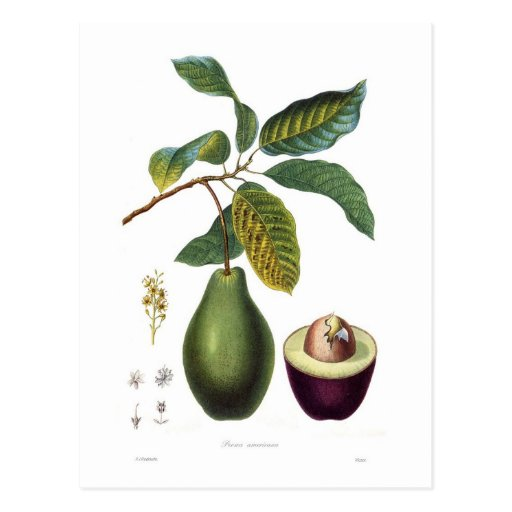 Avocado (Persea Americana) Postkarte