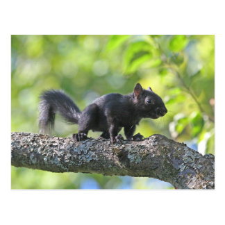Baby-schwarzes Eichhörnchen Postkarte