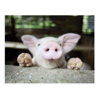 Baby-Schwein im Stift, Ferkel Postkarte