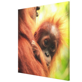 Baby Sumatran Orang-Utan Leinwanddruck