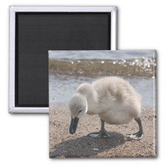 Baby-Tierschwan-Magnet Quadratischer Magnet