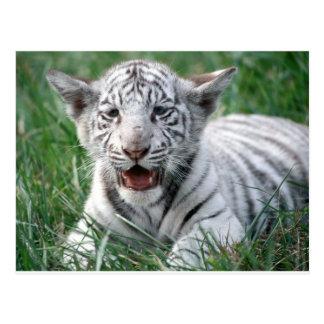 Baby-Weiß-Tiger Postkarte
