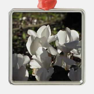 Backlits weiße Cyclamen-Blumen auf dunklem Silbernes Ornament