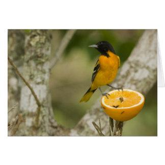 Baltimore Oriole, der auf Orange, Icterus füttert Karte