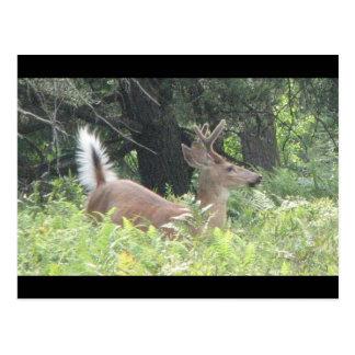 Bambis Vater? Postkarte