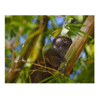 Bambuslemur im Bambuswald, Madagaskar Postkarte
