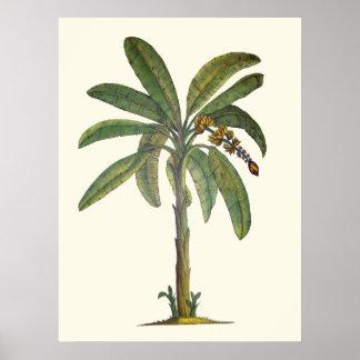 Bananen-Baum botanisch Poster