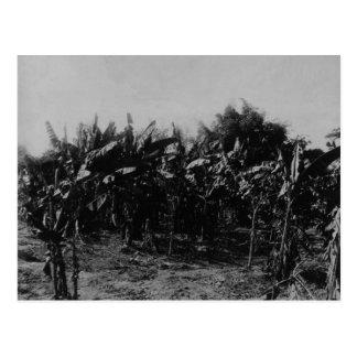Bananen-Bearbeitung, Trinidad, c.1891 Postkarte