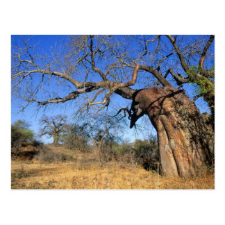 Baobab (Adansonia Digitata), Kruger Postkarte