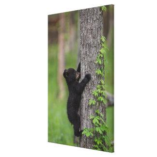 Bärenjunges, das einen Baum klettert Leinwanddruck