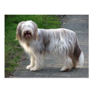 Bärtiger Collie-Hund Postkarte