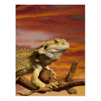 Bärtiger Drache (Pogona Vitticeps) auf Postkarte