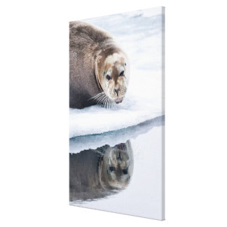 Bärtiges Siegel auf Eis, Norwegen Leinwanddruck