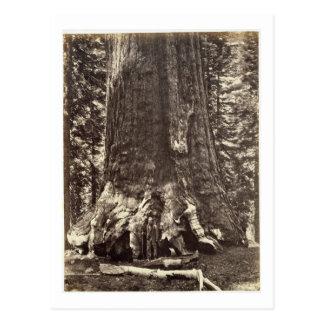 Basis des Graubär-Riesen, 'vom Yosemite-Buch Postkarte
