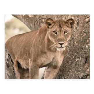 Baum-kletternder Löwe, Uganda Afrika Postkarte