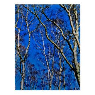 Bäume der silbernen Birke Postkarten