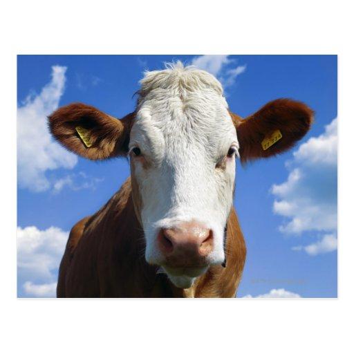 Bayerische Kuh gegen blauen Himmel Postkarten