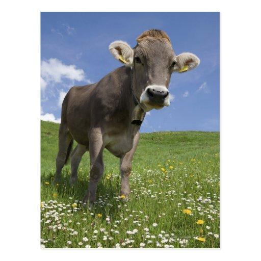 bayerische Kuh Postkarten
