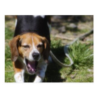 Beagle-Gegähne Postkarte