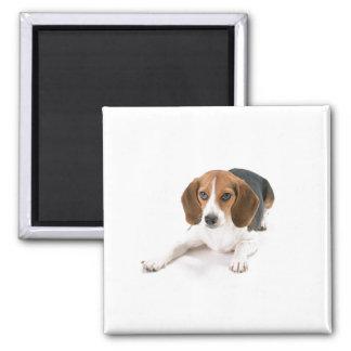 Beagle-Hundemagnet Quadratischer Magnet