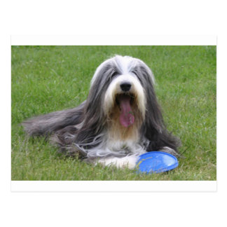 Bearded_Collie Postkarte
