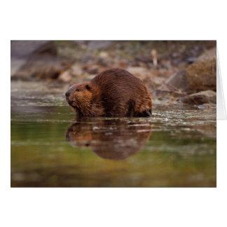 beaver, Gießmaschine canadensis, strebt ein Karte