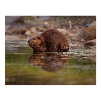 beaver, Gießmaschine canadensis, strebt ein Postkarte