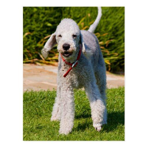 Bedlington Terrier-Hundeniedliches schönes Foto Postkarte