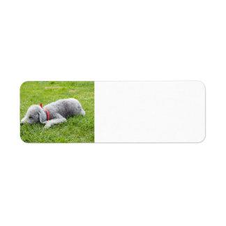 bedlington-Terrier-Schlafen Rückversand-Adressaufkleber