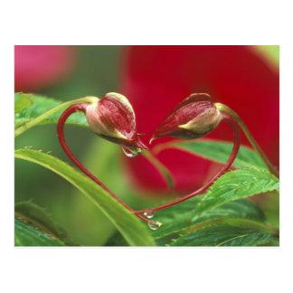 Begonien-Knospen in der Herzform mit Tropfen. Postkarte