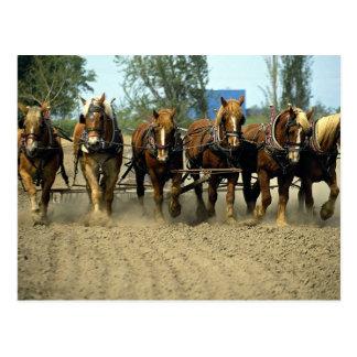 Belgische pflügende Pferde, six-up, rote Postkarte