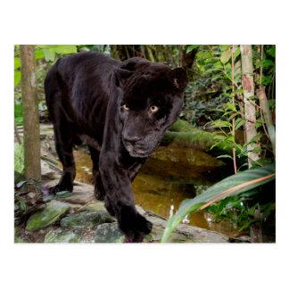 Belize-Stadt-Zoo. Schwarzer Panther Postkarte