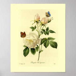 Bengalische Rosen-botanisches Blumen Poster