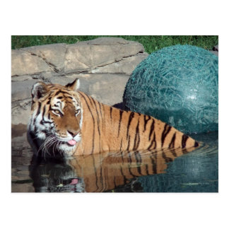 Bengalische Tiger-Postkarte #1 Postkarte