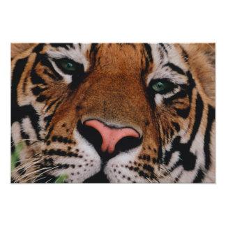 Bengalischer Tiger, Panthera der Tigris, Bandhavga Fotografien