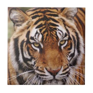 Bengalischer Tiger, Panthera der Tigris Fliese