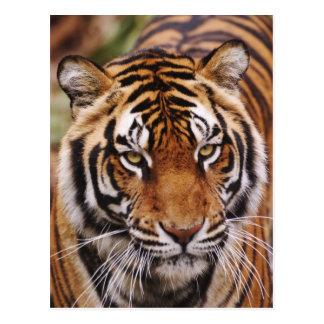 Bengalischer Tiger, Panthera der Tigris Postkarte