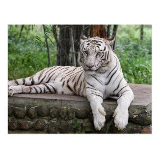 Bengalischer weißer Tiger Postkarte