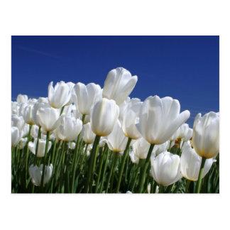 Berg der weißen Tulpen gegen einen blauen Himmel Postkarten