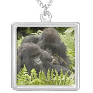 Berggorilla, Familie im Tagesnest Versilberte Kette