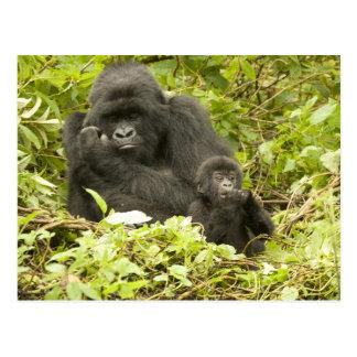Berggorilla, Gorilla beringei (früher G. Postkarte