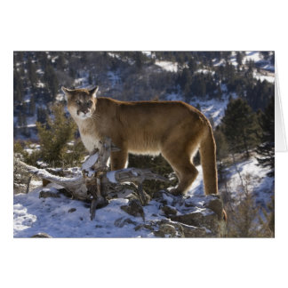 Berglöwe, alias Puma, Puma; Puma concolor, Karte
