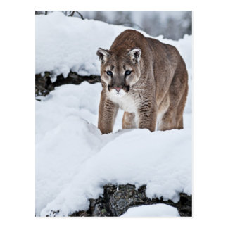 Berglöwe im Schnee Postkarte