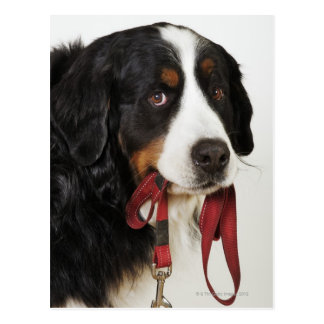 Bernese Gebirgshund (Berner Sennenhund) Postkarte