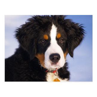 Bernese Gebirgshund - niedliches Welpen-Foto Postkarte