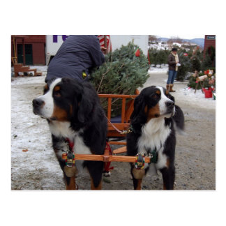 Bernese Gebirgshunde Postkarte